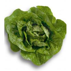 Salade sucrine (pièce)